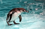 The penguinarium is open at the Beo Zoo Garden.Otvoren pingvinarijum u Beo Zoo vrtu.